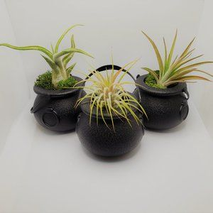 Other - Airplants in Black Cauldron Pots, Set of 3